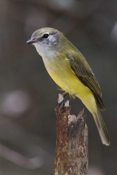 Lemon Bellied Flycatcher (Microeca flavigaster flavigaster) - Adelaide River, NT (2)