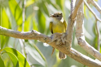 Lemon Bellied Flycatcher (Microeca flavigaster flavigaster) - Adelaide River, NT (3)