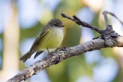Lemon Bellied Flycatcher (Microeca flavigaster flavigaster) - Adelaide River, NT (4)