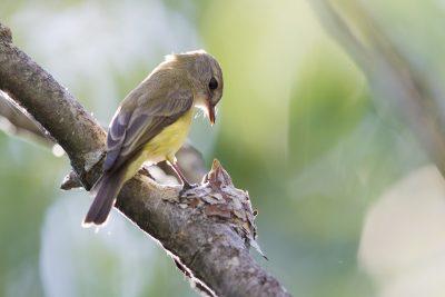 Lemon Bellied Flycatcher (Microeca flavigaster flavigaster) - Darwin, NT