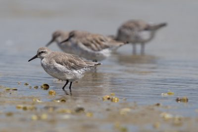 Lesser Knot  - Waipu, New Zealand