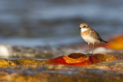 Lesser Sandplover (Charadrius mongolus mongolus) - Sandy Creek, NT (2)