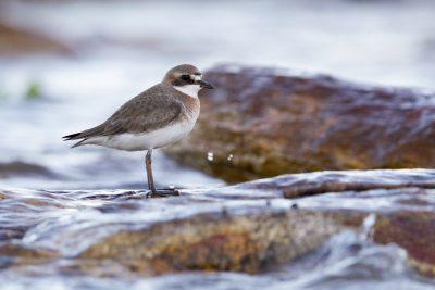 Lesser Sandplover (Charadrius mongolus mongolus) - Sandy Creek, NT (3)