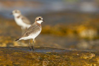 Lesser Sandplover (Charadrius mongolus mongolus) - Sandy Creek, NT