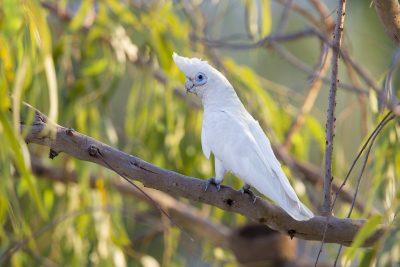Little Corella (Cacatua sanguinea sanguinea) - Darwin, NT