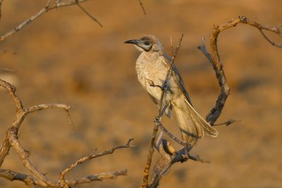 Little Frairbird (Philemon citreogularis sordidus) - Buntine Highway, NT (2)