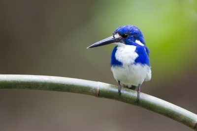 Little Kingfisher (Ceyx pusilla ramsayi) - Howard Springs, NT (2)