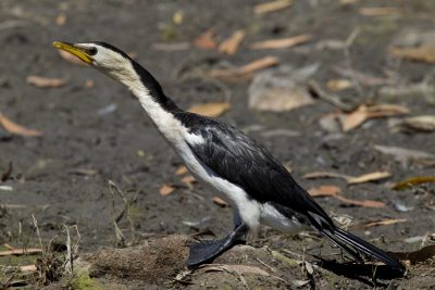 Little Pied Cormorant (Microcarbo melanoleucos melanoleucos) - Jabiru, NT