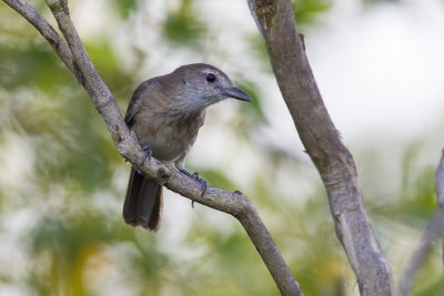 Little Shrike-thrush (Colluricincla megarhyncha parvula) - Palmerston, NT
