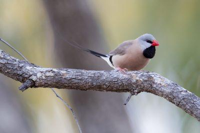 Long Tailed Finch (Poephila acuticauda acuticauda) - Marrakai Track, NT (3)