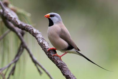 Long Tailed Finch (Poephila acuticauda acuticauda) - Marrakai Track, NT (4)