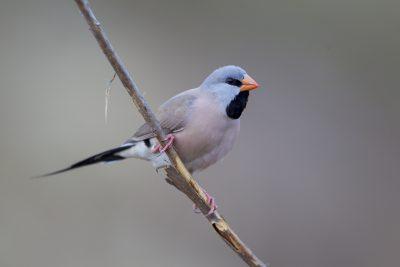Long Tailed Finch (Poephila acuticauda acuticauda) - Marrakai Track, NT (5)