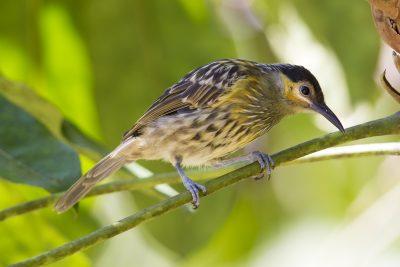 Macleay's Honeyeater (Xanthotis macleayana - Kingfisher Lodge, Julatten QLD