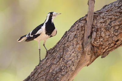 Magpie-lark (Grallina cyanoleuca neglecta) - Mitchell Plateau, WA