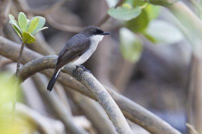 Mangrove Robin (Peneonanthe pulverulenta alligator) - Darwin, NT (2)