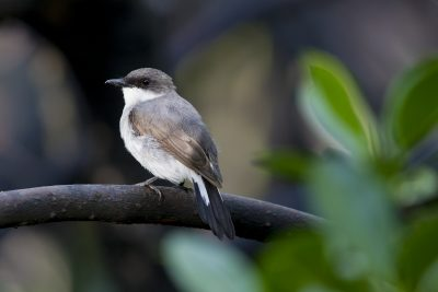 Mangrove Robin (Peneonanthe pulverulenta alligator) - Darwin, NT (3)