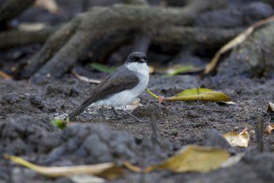 Mangrove Robin (Peneonanthe pulverulenta alligator) - Pamerston Sewage Ponds, NT