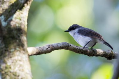 Mangrove Robin (Peneonanthe pulverulenta leucura) - Cairn Esplanade, QLD (2)