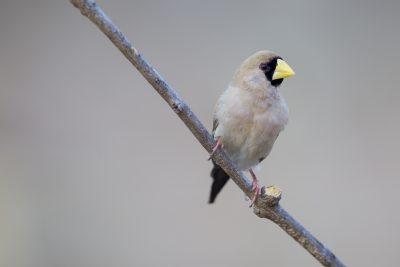 Masked Finch (Poephila personata personata) - Buntine Highway, NT (3)