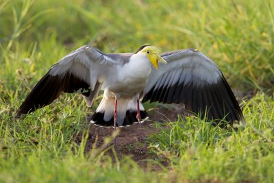 Masked Lapwing - Defending its Nest (Vanellus miles miles) - Darwin, NT