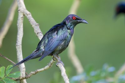 Metallic Starling (Aplonis metallica metallica) - Cairns, QLD (3)