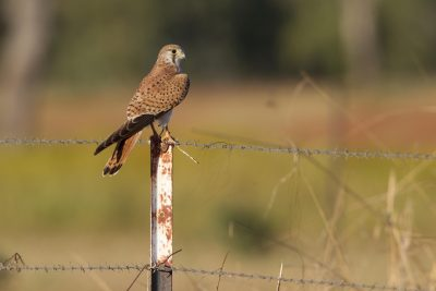 Nankeen Kestrel (Falco cenchroides cenchroides) - Victoria River, NT