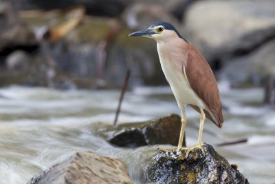 Nankeen Night-heron - Adult (Nycticorax caledonicus hilli) - Adelaide River, NT