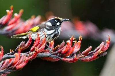 New Holland Honeyeater (Phylidonyris novaehollandiae longirostris) - Great Ocean Road, VIC