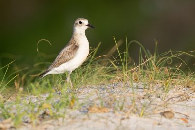 New Zealand Dotteral (Female) - Northland, New Zealand