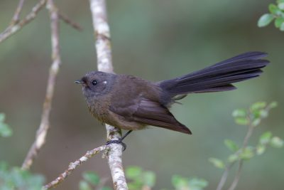 New Zealand Fantail - South Island, New Zealand