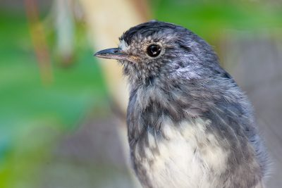 North Island Robin (Profile)  - Titititi Matungi Island, NZ