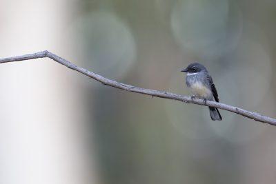 Northern Fantail (Rhipidura rufiventris isura) - Arnhemland, NT