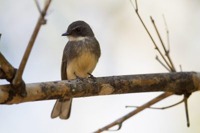 Northern Fantail (Rhipidura rufiventris isura) - East Point, NT (2)