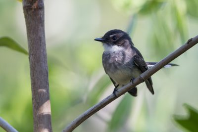 Northern Fantail (Rhipidura rufiventris isura) - East Point, NT (4)