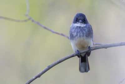 Northern Fantail (Rhipidura rufiventris isura) - East Point, NT