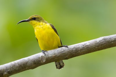 Olive-backed Sunbird - Female (Nectarinia jugularis frenata) - Cairns, QLD