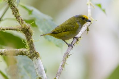 Orange-belled Euphonia (Female) - Paz De Aves (Ant Hill Pass), Ecuador