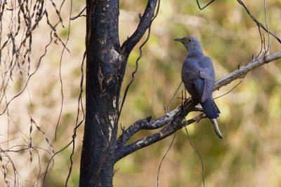 Oriental Cuckoo - Male (Cuculus optatus ssp.) - Darwin, NT