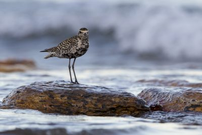 Pacific Golden Plover - Breeding (Pluvialis fulva) - Nightcliff, NT
