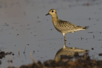 Pacific Golden Plover (Pluvialis fulva) - Holmes Jungle, NT