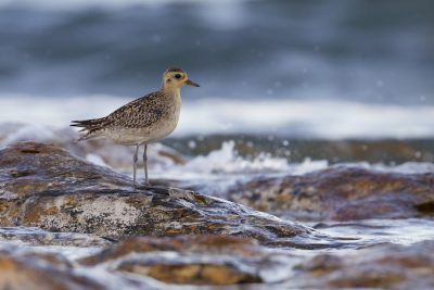 Pacific Golden Plover (Pluvialis fulva) - Nightcliff, NT