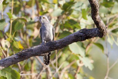 Pallid Cuckoo (Cacomantis pallidus) - Buntine Highway, NT
