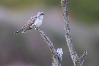 Pallid Cuckoo (Cacomantis pallidus) - Tasmania