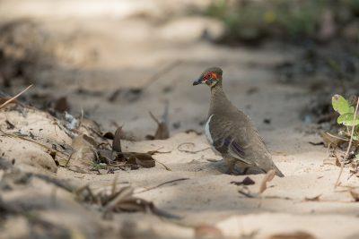 Partridge Pigeon (Geophaps smithii blaauwi) - Arnhemland, NT