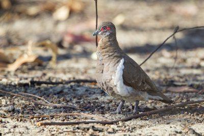 Partridge Pigeon (Geophaps smithii blaauwi) - Jabiru, NT (2)