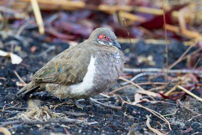 Partridge Pigeon (Geophaps smithii blaauwi) - Jabiru, NT (3)