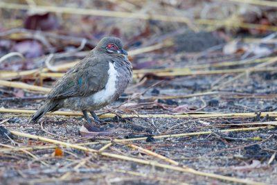Partridge Pigeon (Geophaps smithii blaauwi) - Jabiru, NT (4)