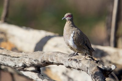 Partridge Pigeon (Geophaps smithii blaauwi) - Jabiru, NT