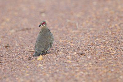 Partridge Pigeon (Geophaps smithii blaauwi) - Marrakai Track, NT