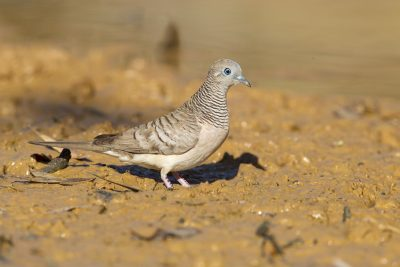 Peaceful Dove (Geopelia striata placida) - Darwin, NT (2)